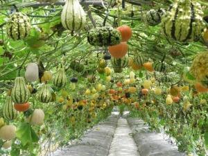 pumpkin_gourd_vines_trellis